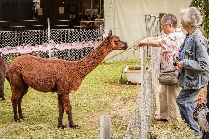 Two older women feeding hay to an Alpaca.